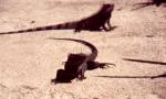 iguana02
