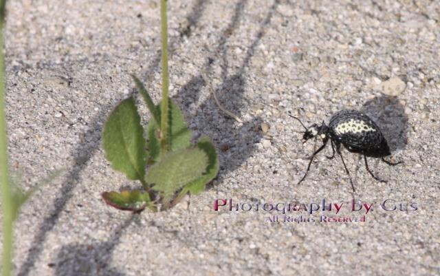 Desert Spider Beetle; genus Cysteodemus